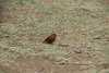 002_Ethiopia_Red_Billed_Finch.JPG