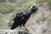 015_Ethiopia_Thick_Billed_Raven.JPG