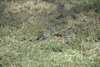 017_Ethiopia_Red_Cheeked_Cordon_Blue.JPG