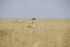 037_Kenya_Secretary_bird.JPG